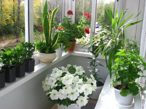 pravilnyj-uxod-za-cvetami-na-balkone1